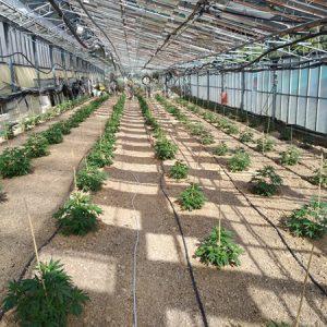 CBD-greenhouse-3