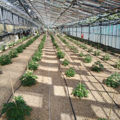 CBD-greenhouse-3
