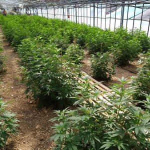CBD-greenhouse-4