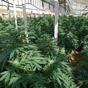 CBD-greenhouse-5