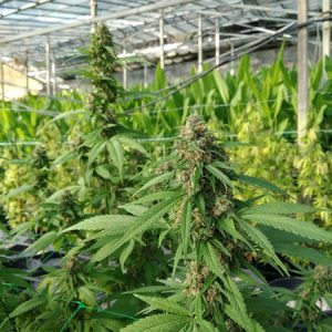 CBD-greenhouse-6
